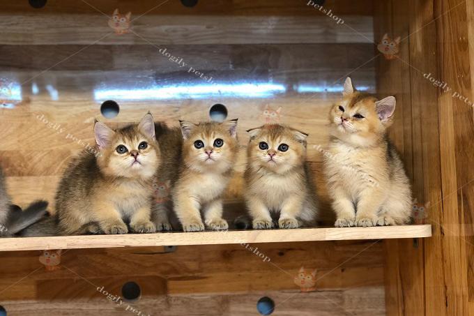 đàn 4 mèo golden tai cụp, thẳng