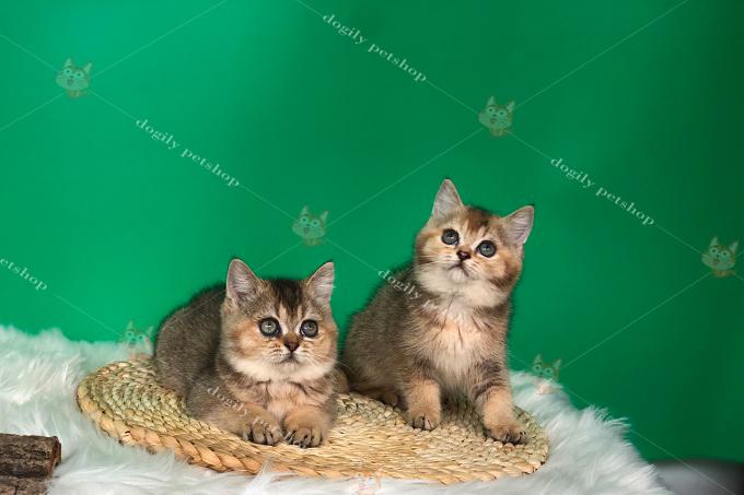 đôi mèo golden ny25