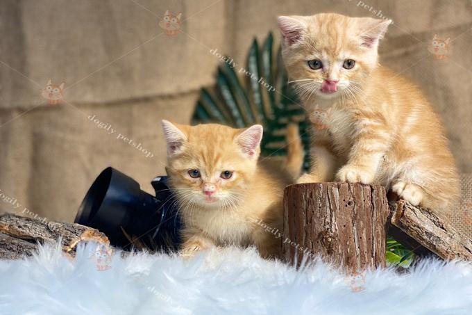 Đôi mèo Anh lông ngắn màu vàng (red)