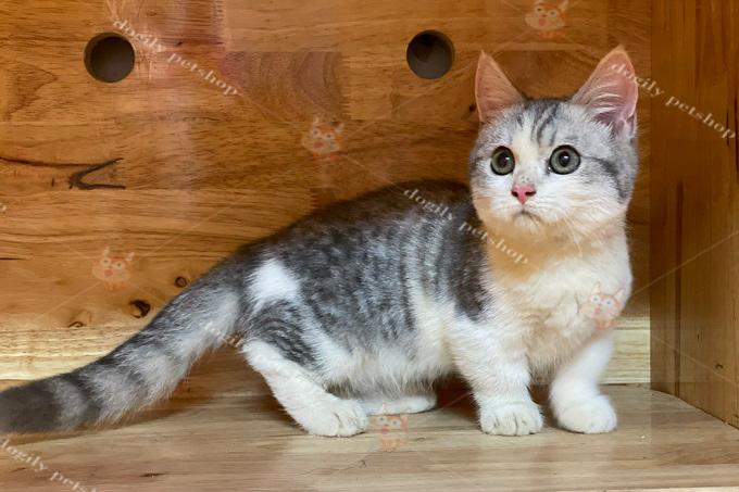 Giống mèo này có màu sắc rất đa dang như: tabby bicolor.