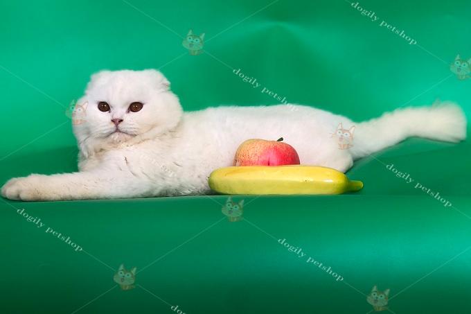 Mèo Scottish Fold tai cụp lông dài