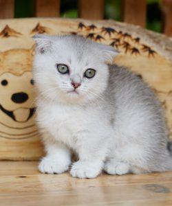 Mèo tai cụp chân ngắn màu silver 2 tháng tuổi.