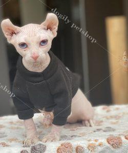 Mèo không lông sphynx ai cập 2 màu mắt hai tháng tuổi