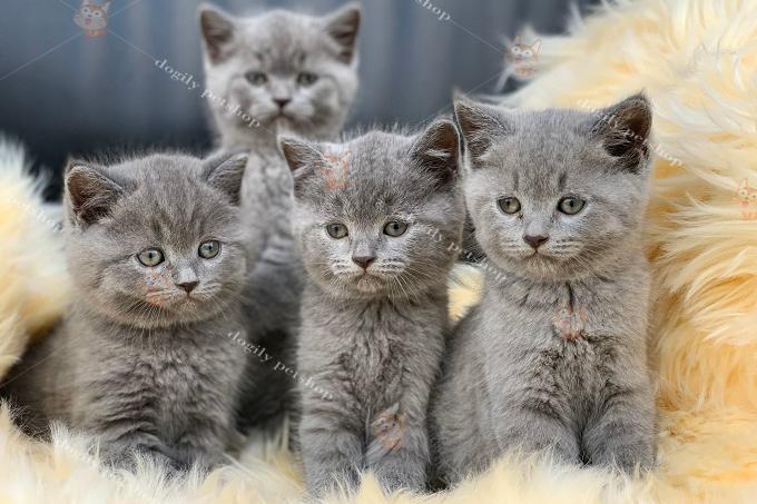 Đàn 4 bé mèo Anh lông ngắn Aln màu xám tro xanh
