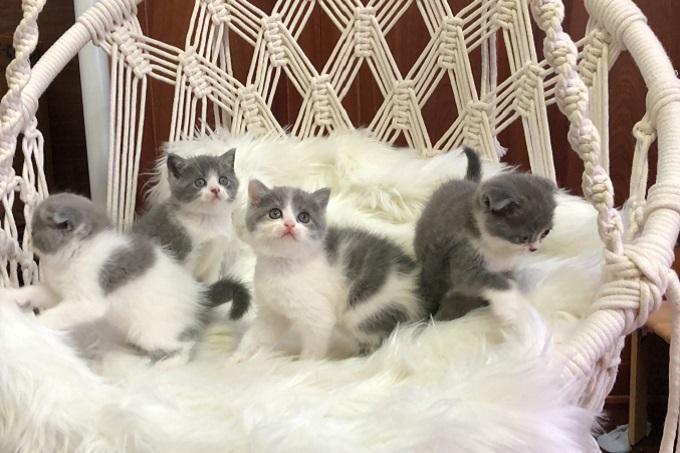Đàn 4 bé mèo bicolor tại dogily.