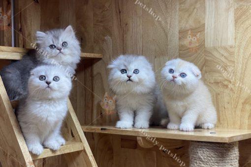 Đàn 4 bé mèo tai cụp màu Silver