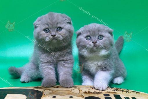 Đàn 4 mèo tai cụp màu xám xanh