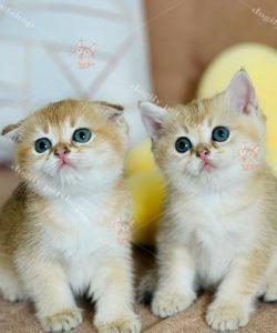 Đàn mèo Golden tai cụp và thẳng