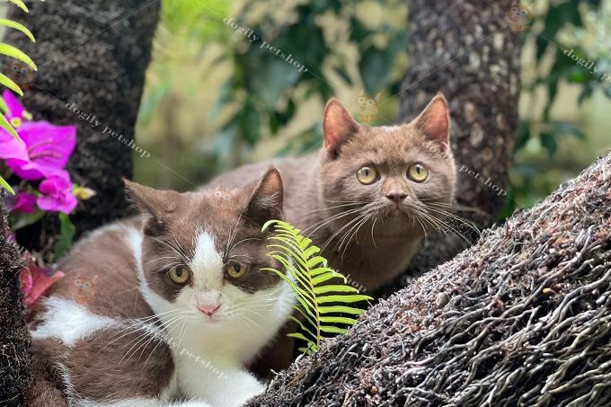 Đôi mèo Chocolate & bi-choco 4 tháng tuổi tại trại mèo Dogily Cattery 70/1 Pasteur, Tp Đà Lạt