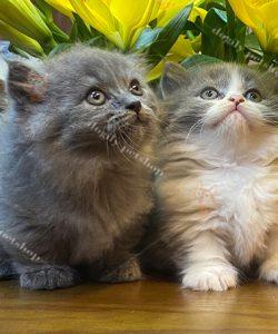 Trại mèo Dogily Cattery luôn có sẵn hàng trăm chú mèo con xinh xắn, đáng yêu để bạn lựa chọn. Bạn có thể dễ dàng chọn được một bé mèo ưng ý khi đến với Dogily Petshop.