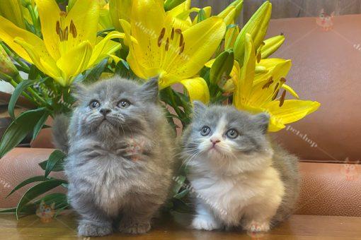 Đôi mèo Munchkin lông dài xám xanh và bicolor 45 ngày tuổi.