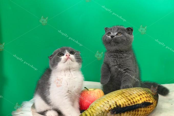 Đôi mèo bicolor & xám xanh tai cụp