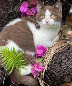 Mèo Anh lông ngắn bicolor chocolate (bii-choco)