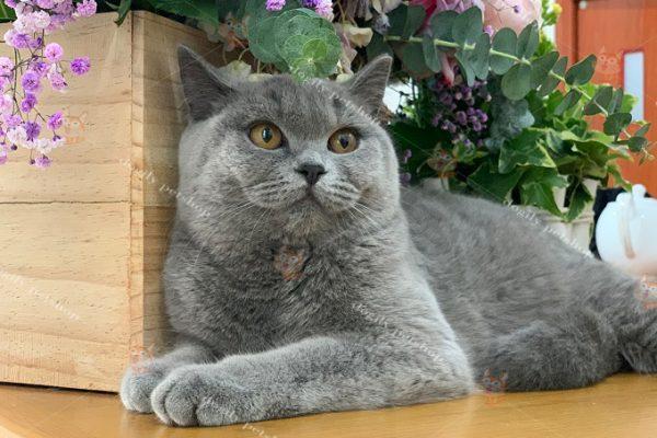 Có nên cạo lông cho mèo Anh lông ngắn?