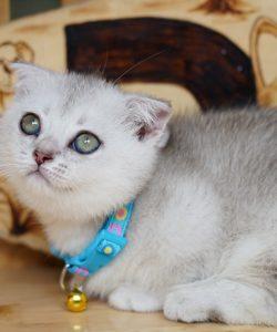 mèo chân ngắn tai cụp silver