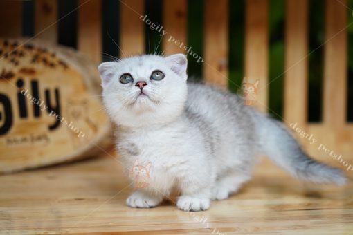 Mèo Munchkin tai cụp Silver