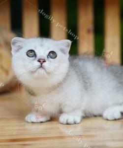Siêu phẩm mèo silver tai cụp chân ngắn