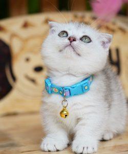 Mèo Scottish chân ngắn tai cụp con màu silver