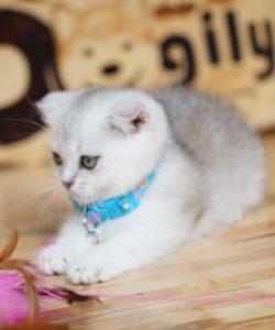 mèo Munchkin -silver con 2 tháng tuổi