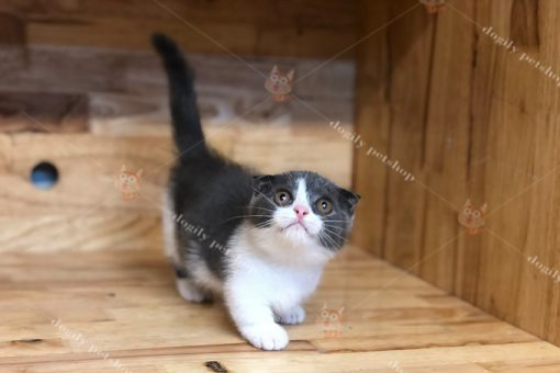 Shop bán mèo chân ngắn tai cụp