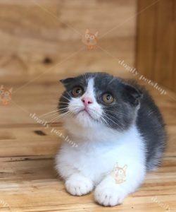 Mèo tuxedo tai cụp chân ngắn 2 tháng tuổi