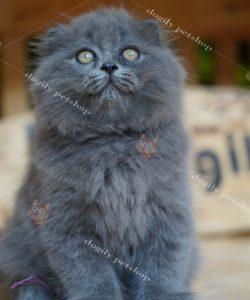Mèo Anh lông dài màu xám xanh tai cụp