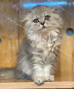 Mèo lông dài tai cụp màu silver tabby