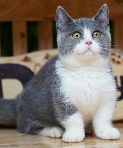 Mèo Munchkin Bicolor 4 tháng tuổi.