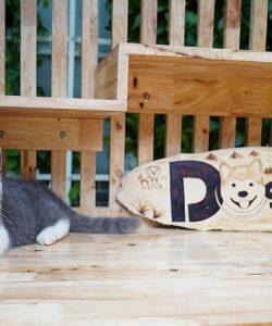 Mèo bicorlor chân ngắn 4 tháng tuổi