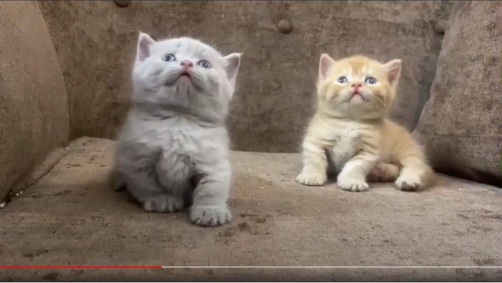 Cặp mèo Munchkin chân ngắn màu Fawn và Golden đang bán tại Dogily Petshop 95 Nghi Tàm, phường Yên Phụ, quận Tây Hồ, Hà Nội.