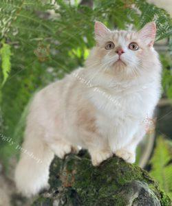 Mèo Munchkin lông dài màu Red-bicolor (hồng phấn)