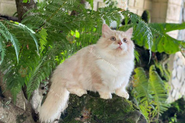 mèo chân ngắn đà nẵng