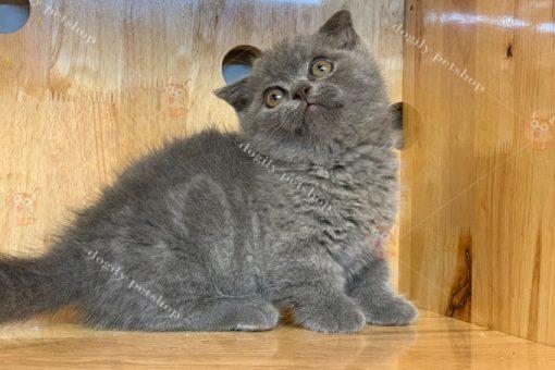 Mèo Munchkin màu xám xanh 2 tháng tuổi