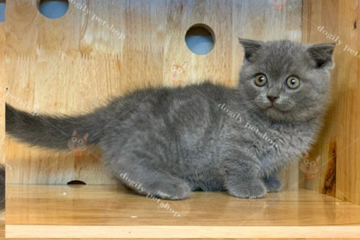 Mèo Munchkin chân ngắn màu xám xanh 2 tháng tuổi.