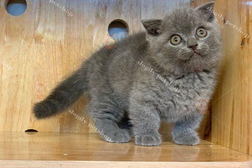 Mèo Munchkin màu xám xanh 2 tháng tuổi tại Dogily Petshop.