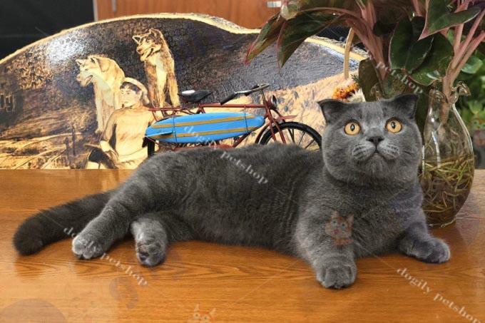 Mèo Munchkin nhập khẩu có giá không dưới 5.000 Usd. Các bé có gia phả champion, ngoại hình đẹp có thể lên đến trên 10.000 usd.