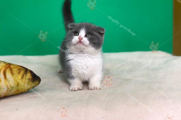 bán mèo munchkin giá rẻ