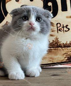 Mèo Munchkin Scottish màu bicolor chân ngắn, tai cụp