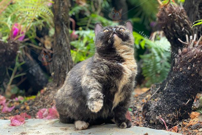 Mèo Munchkin Tortoisesshell (Tortie,