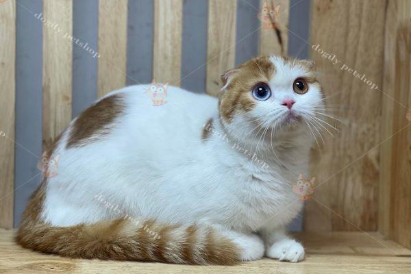Mèo Scottish Fold giá
