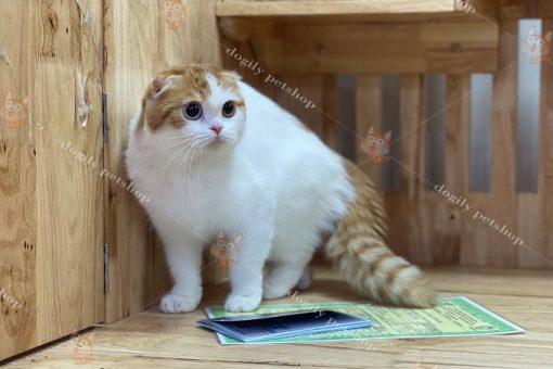 Mèo Scottish Fold màu Van
