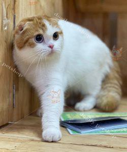 Mèo Scottish Fold có hơn 100 kiểu hoa văn và màu sắc lông