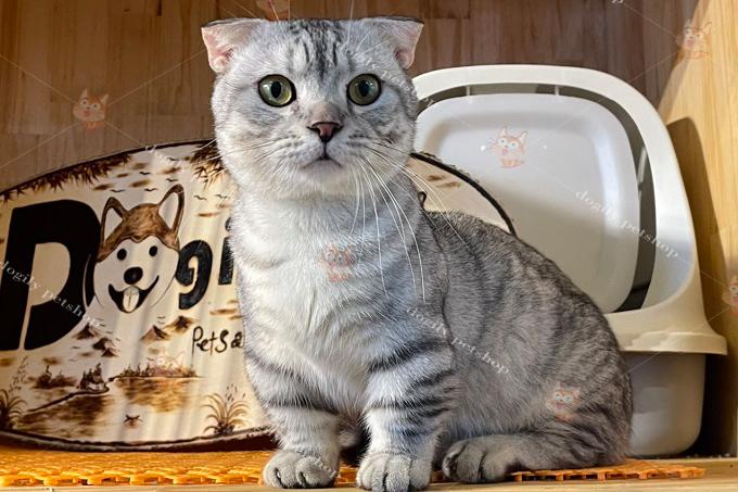 Mèo tai cụp chân ngắn trưởng thành đực giống màu silver tabby của trại mèo Dogily Cattery
