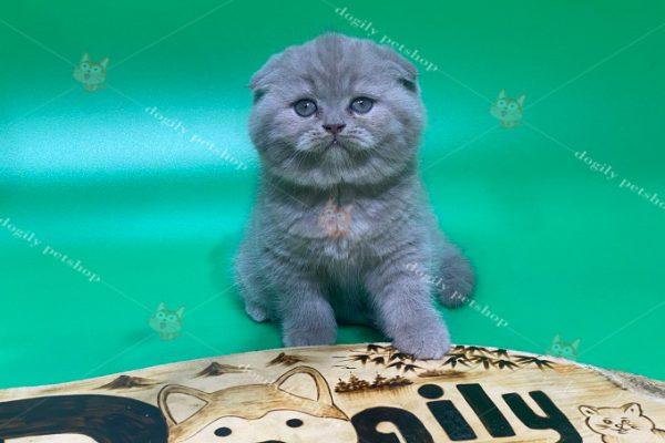 Mèo Scottish Fold xám xanh