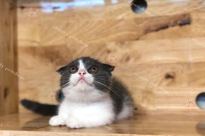 Mèo tuxedo đen trắng chân ngắn,tai cụp sát