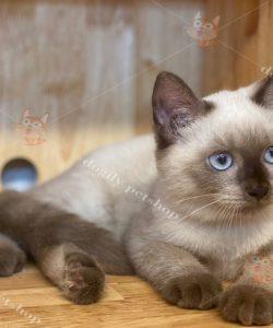 Mèo Xiêm Thái Lan