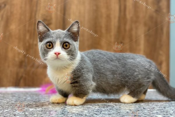 đặc tính và đặc điểm của mèo chân ngắn