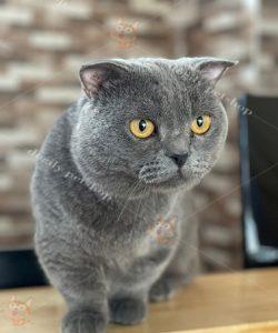 Ngoại hình tiêu chuẩn của một chú mèo Munchkin chân ngắn trưởng thành.