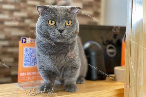 Mèo chân ngắn tai cụp màu xám xanh đực giống tại trại mèo Dogily Cattery Đà Lạt.