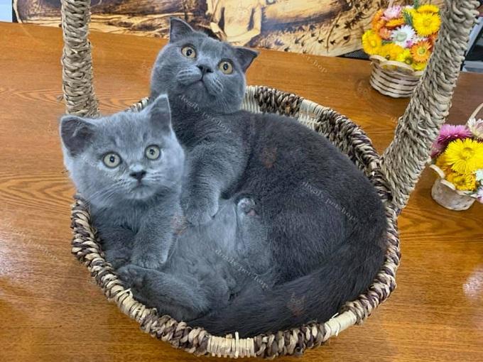 Mèo chân ngắn xám xanh 2 & 5 tháng tuổi ngày nay của trại mèo Dogily Cattery.
